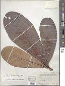 view Anacardium excelsum (Kunth) Skeels digital asset number 1