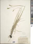view Carex festucacea Willd. digital asset number 1