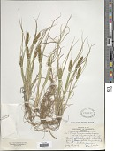 view Carex vulpinoidea Michx. digital asset number 1