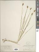 view Carex bebbii (L.H. Bailey) Olney ex Fernald digital asset number 1
