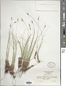 view Carex filifolia Nutt. digital asset number 1