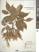 view Fraxinus americana L. digital asset number 1