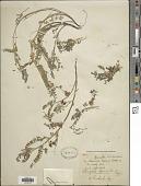 view Astragalus sprucei I.M. Johnst. digital asset number 1