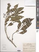 view Trichostigma octandrum (L.) H. Walter digital asset number 1