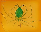 view Panulirus gracilis digital asset number 1