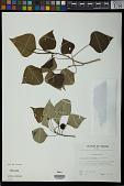 view Homalanthus acuminatus (Müll. Arg.) Pax digital asset number 1