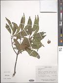 view Ficus pertusa L. f. digital asset number 1
