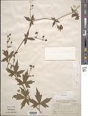 view Aconitum noveboracense A. Gray ex Coville digital asset number 1