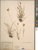 view Eleusine tristachya (Lam.) Lam. digital asset number 1