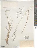 view Agrostis exarata Trin. digital asset number 1