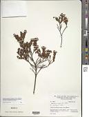 view Gaultheria myrsinoides Kunth digital asset number 1
