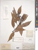 view Cinnamomum loureiroi Nees digital asset number 1