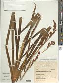 view Orthrosanthus acorifolius (Kunth) Ravenna digital asset number 1