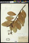 view Souroubea guianensis var. amazonica (Mart.) Wittm. digital asset number 1