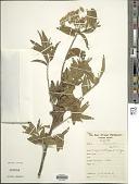 view Microglossa oblongifolia O. Hoffm. digital asset number 1