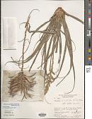 view Lemeltonia monadelpha (É. Morren) Barfuss & W. Till digital asset number 1