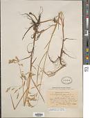 view Arctophila fulva (Trin.) Andersson digital asset number 1