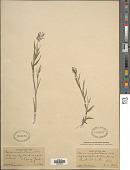 view Dichanthelium acuminatum (Sw.) Gould & C.A. Clark var. acuminatum digital asset number 1