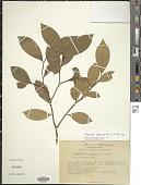 view Daphnopsis megacarpa Nevling & Barringer digital asset number 1