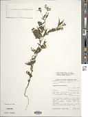 view Sigesbeckia microcephala DC. digital asset number 1