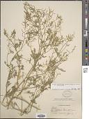 view Rorippa curvisiliqua (Hook.) Bessey ex Britton var. curvisiliqua digital asset number 1