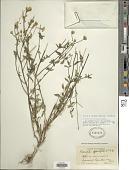 view Isocarpha oppositifolia (L.) Cass. digital asset number 1