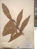 view Quercus rysophylla Weath. digital asset number 1