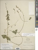 view Phaseolus leptostachyus Benth. var. leptostachyus digital asset number 1