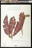 view Columnea eburnea (Wiehler) L.P. Kvist & L.E. Skog digital asset number 1