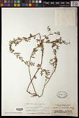 view Euphorbia hyssopifolia L. digital asset number 1