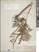 view Anemia tomentosa var. anthriscifolia (Schrad.) Mickel digital asset number 1