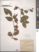 view Celtis iguanaea (Jacq.) Sarg. digital asset number 1