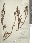 view Rumex triangulivalvis var. oreolapatheum digital asset number 1