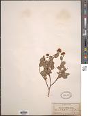 view Spiraea splendens Baumann ex K. Koch var. splendens digital asset number 1