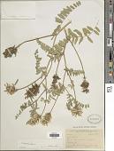 view Astragalus cicer L. digital asset number 1