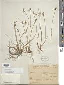 view Cyperus obtusatus (J. Presl & C. Presl) Mattf. & Kük. digital asset number 1
