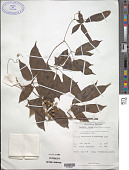 view Cayratia pedata (Lour.) Gagnep. digital asset number 1