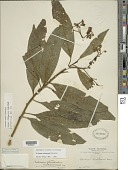 view Solanum aligerum Schltdl. digital asset number 1
