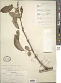 view Geniostoma rupestre J.R. Forst. & G. Forst. var. rupestre digital asset number 1