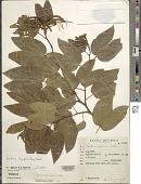view Bauhinia longifolia (Bong.) Steud. digital asset number 1