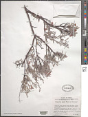 view Krameria grayi Rose & J.H. Painter digital asset number 1
