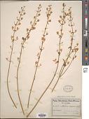 view Nemesia saxatilis Schltr., ined. digital asset number 1