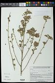 view Waltheria petiolata K. Schum. digital asset number 1