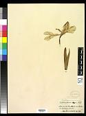 view Iris pseudacorus L. digital asset number 1