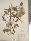view Clematis occidentalis (Hornem.) DC. var. occidentalis digital asset number 1
