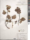 view Alnus viridis subsp. crispa digital asset number 1