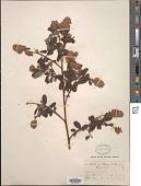 view Ceanothus thyrsiflorus Eschsch. digital asset number 1