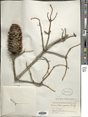 view Picea likiangensis digital asset number 1