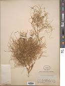 view Cycloloma atriplicifolium (Spreng.) J.M. Coult. digital asset number 1