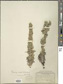 view Oreocarya virgata (Porter) Greene digital asset number 1